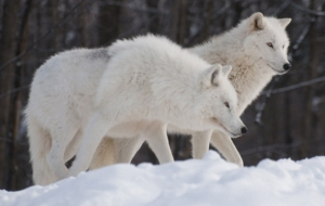 Arctic Wolf Images