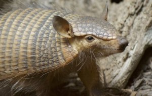 Armadillo High Quality Wallpapers