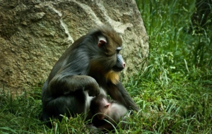 Baboon Pictures