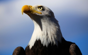 Bald Eagle Download Free Backgrounds HD