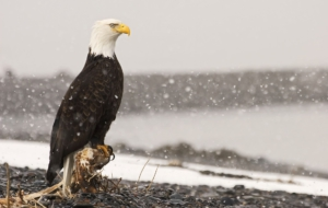 Bald Eagle High Definition Wallpapers