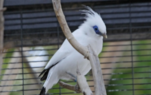 Bali Myna Background