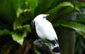 Bali Myna HD Background
