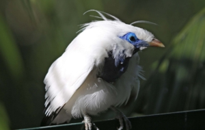 Bali Myna HD Wallpaper