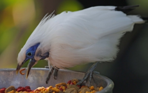 Bali Myna High Quality Wallpapers