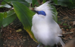 Bali Myna Wallpapers HD