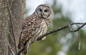 Barred Owl HD Wallpaper