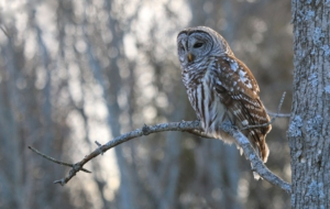 Barred Owl High Definition