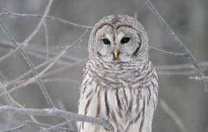 Barred Owl Full HD