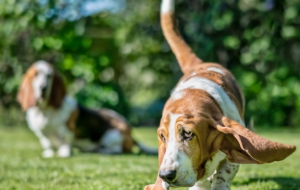 Basset Hound For Desktop
