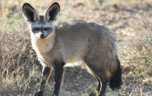 Bat Eared Fox Photos