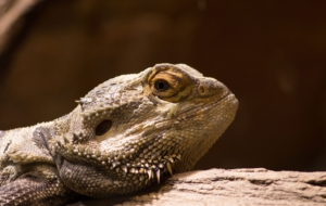 Bearded Dragon High Quality Wallpapers