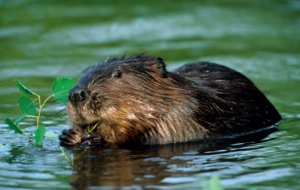 Beaver Images