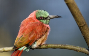 Bee Eater Background