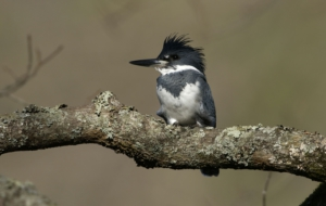 Belted Kingfisher High Definition Wallpapers