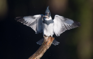 Belted Kingfisher Wallpaper