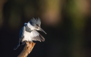 Belted Kingfisher Wallpapers HD