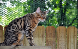 Bengal Cat High Definition Wallpapers