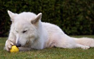 Berger Blanc Suisse Computer Wallpaper