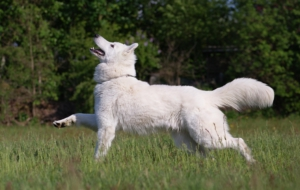 Berger Blanc Suisse HD Desktop