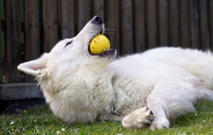 Berger Blanc Suisse HD Wallpaper