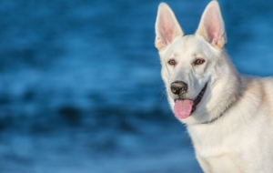 Berger Blanc Suisse For Desktop