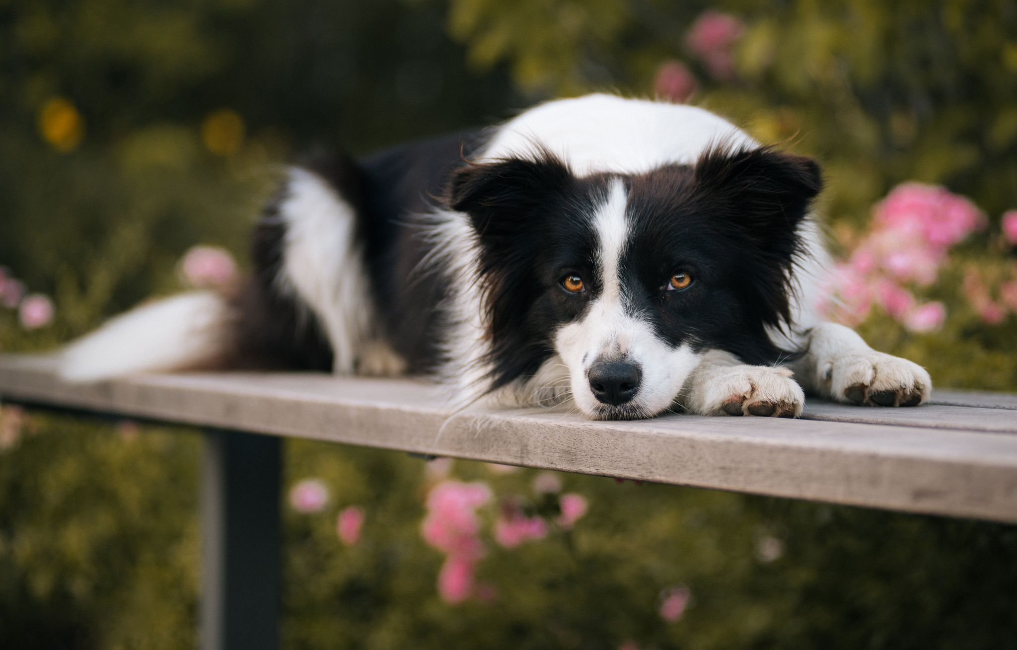 Border Collie Phone Desktop Wallpapers Pictures Photos Bckground Images