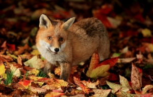 Best Images Of Fox