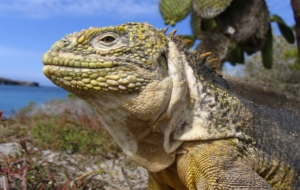 Black Spiny Tailed Iguana Wallpaper