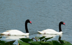Black Necked Swan High Definition Wallpapers
