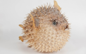Blowfish High Definition Wallpapers