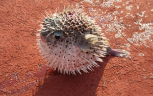Blowfish Wallpapers HD