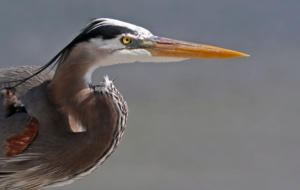 Blue Heron For Desktop