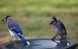 Blue Jay High Definition Wallpapers