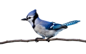 Blue Jay High Quality Wallpapers