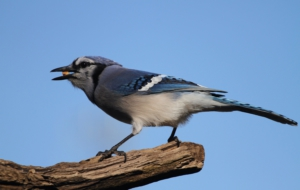 Blue Jay Wallpapers