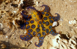 Blue Ringed Octopus Photos