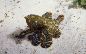 Blue Ringed Octopus Wallpapers