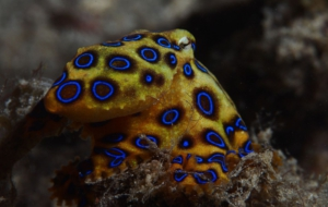 Blue Ringed Octopus Widescreen