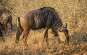 Blue Wildebeest High Definition Wallpapers