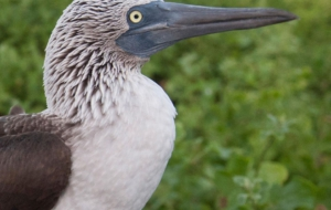 Blue Footed Booby HD Background