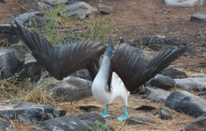 Blue Footed Booby HD Wallpaper