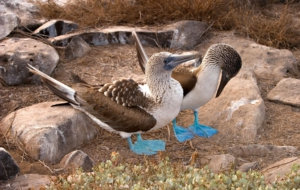 Blue Footed Booby High Definition Wallpapers