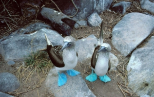 Blue Footed Booby High Quality Wallpapers
