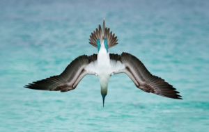 Blue Footed Booby Images