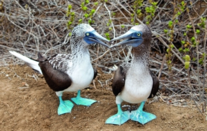 Blue Footed Booby Wallpapers HD