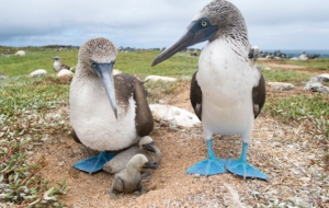 Blue Footed Booby Wallpapers HQ