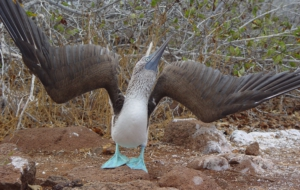 Blue Footed Booby For Desktop