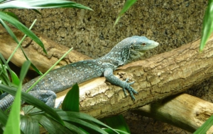 Blue Spotted Tree Monitor Images