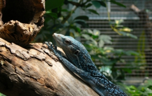 Blue Spotted Tree Monitor Wallpaper